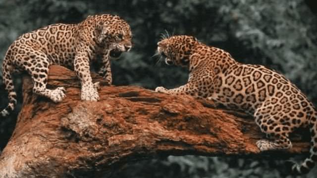 まさに雌雄を決する戦い! 野生動物のオス同士の決闘写真 Dna