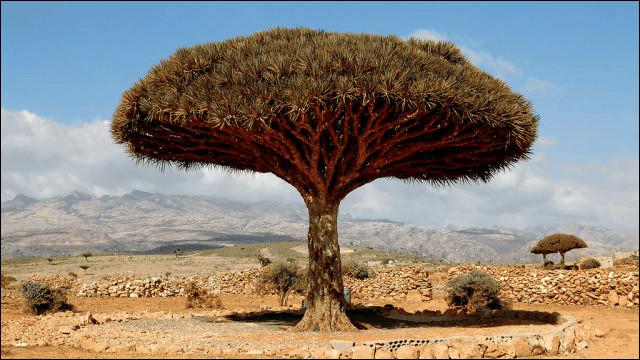 真っ赤な樹液を出す樹木画像