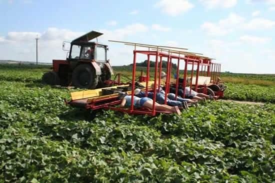 ベラルーシの最新型キュウリ収穫マシーンを使用した何とも言えない収穫風景 Dna