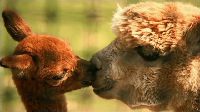 キスをするかわいいアルパカの壁紙