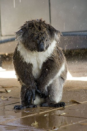 実はちょっと珍しい、水を飲むコアラの写真17枚 , DNA
