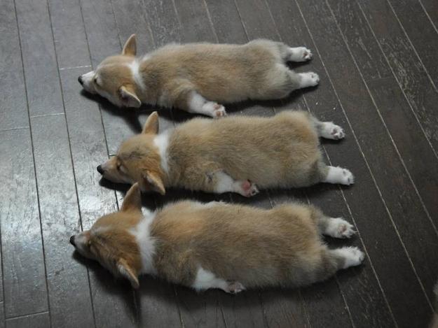 三匹のコーギー
