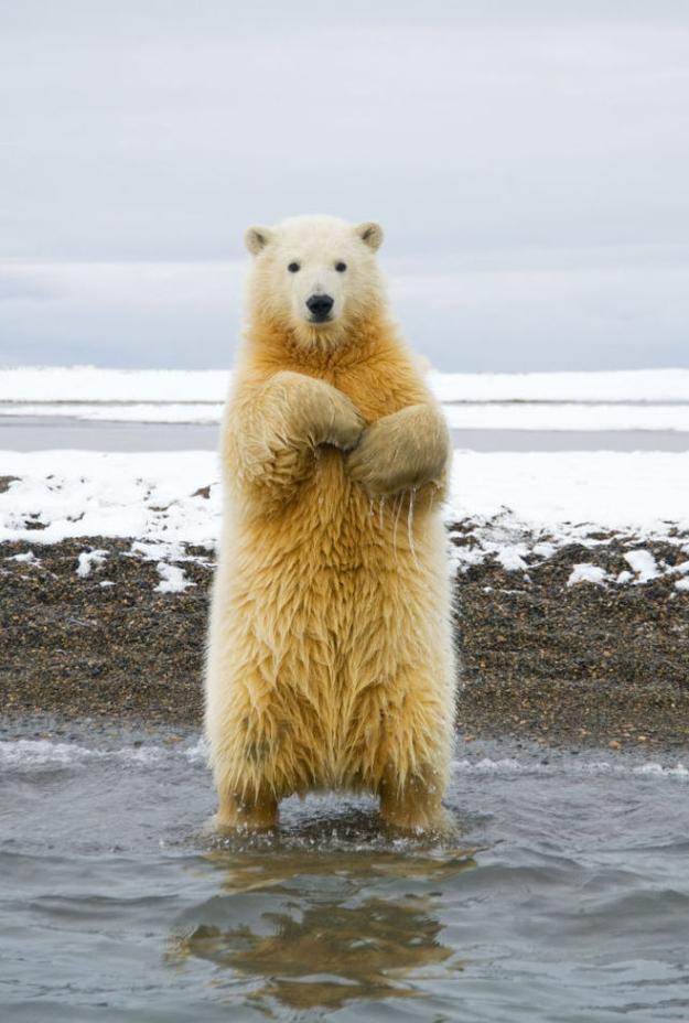 Dancing bear earrings-6573