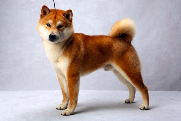 最強のチャンピオン犬を決めるドッグ・ショーで入賞した素晴らしく美しい犬の写真いろいろ