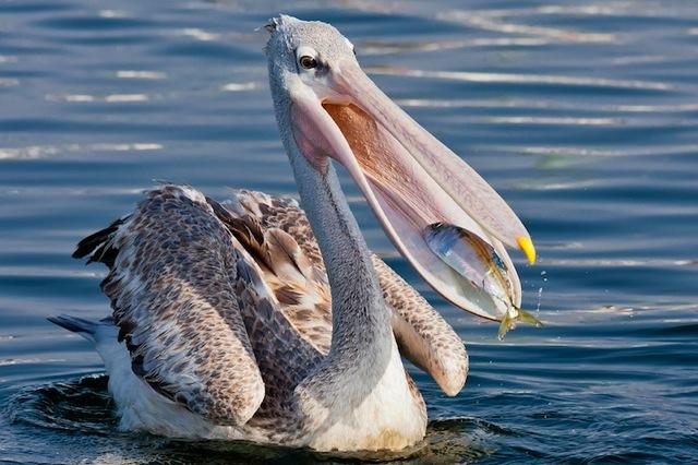 15 dna - Fotos de pelicanos ...