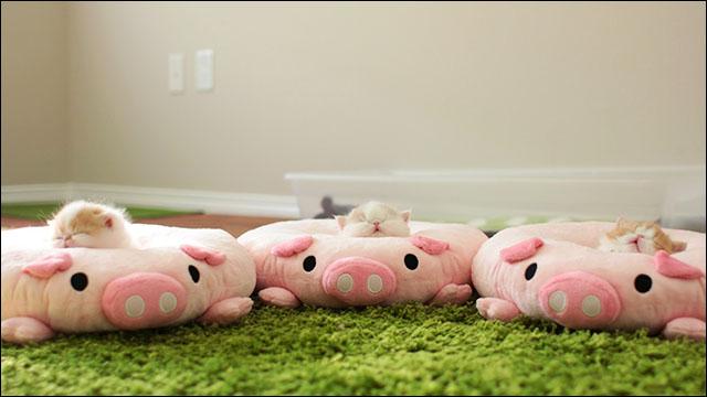 豚のクッションと猫