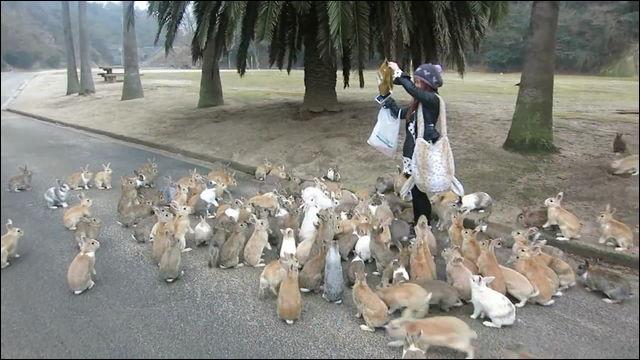 70年代、島外の小学校で飼育されたウサギが放たれ野生化。現在では約300羽のウサギが島に住み、年間10万人の観光客が訪れる「ウサギの楽園」となっています。