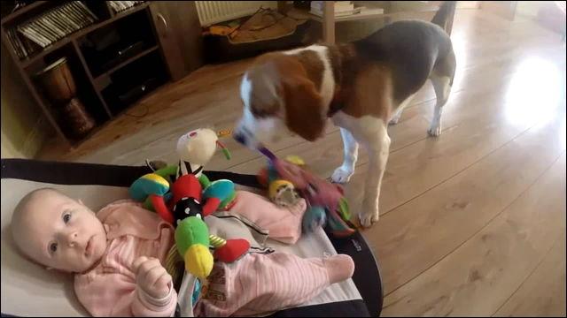 赤ちゃんのおもちゃに興味津津のビーグル犬