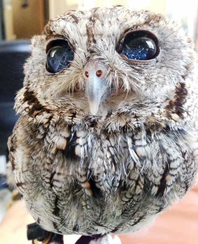 深遠なる宇宙を閉じ込めた奇跡の瞳を持つ盲目のフクロウ