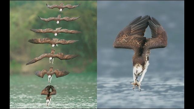 猛禽類「ミサゴ」が泳ぐ魚を空から狩る瞬間を捉えた連続写真 - DNA