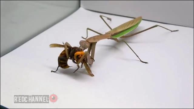 スズメバチ カマキリ スズメバチの天敵「オニヤンマ」は最強の昆虫か?