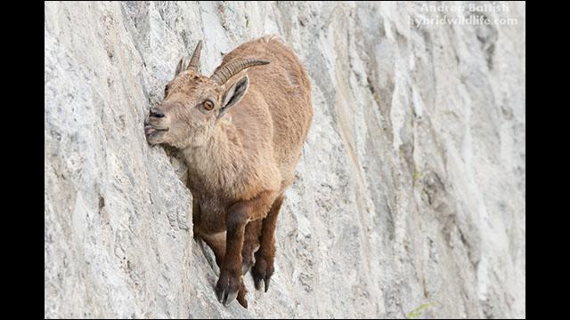 断崖絶壁をスイスイと登っていくビッグホーンの群れ
