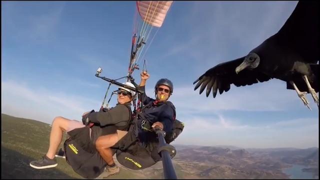 大空を飛行中のパラグライダーの自撮り棒に止まる巨大コンドル
